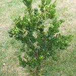 Citrus plant, hou rekening met de lengte